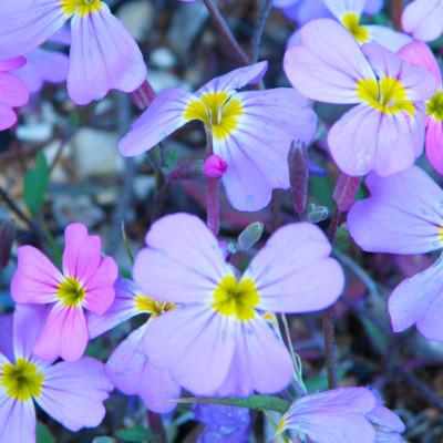 Wild flowers of Skopelos