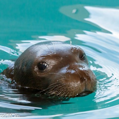 MOm / The Hellenic Society for the Study and Protection of the Monk seal